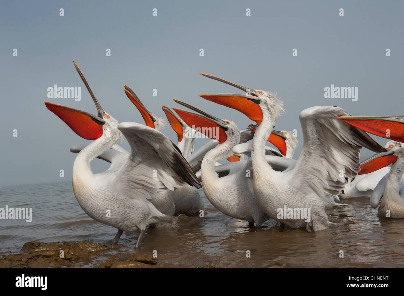 Dalmatian Pelican Pelecanus crispus Greece - Stock Image