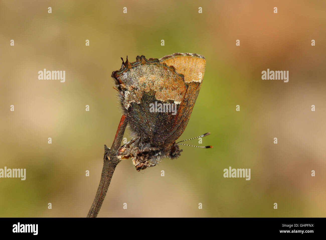 A Henry's Elfin butterfly (Callophrys henrici) perched on a stick, Indiana, United States Stock Photo