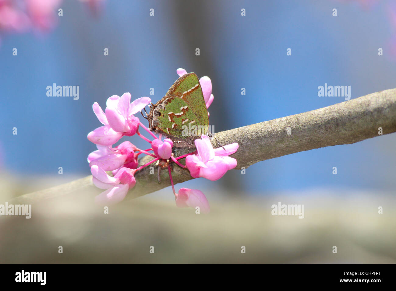 A Juniper Hairstreak butterfly (Callophrys gryneus) nectaring on eastern redbud (Cercis canadensis), Indiana, United States Stock Photo