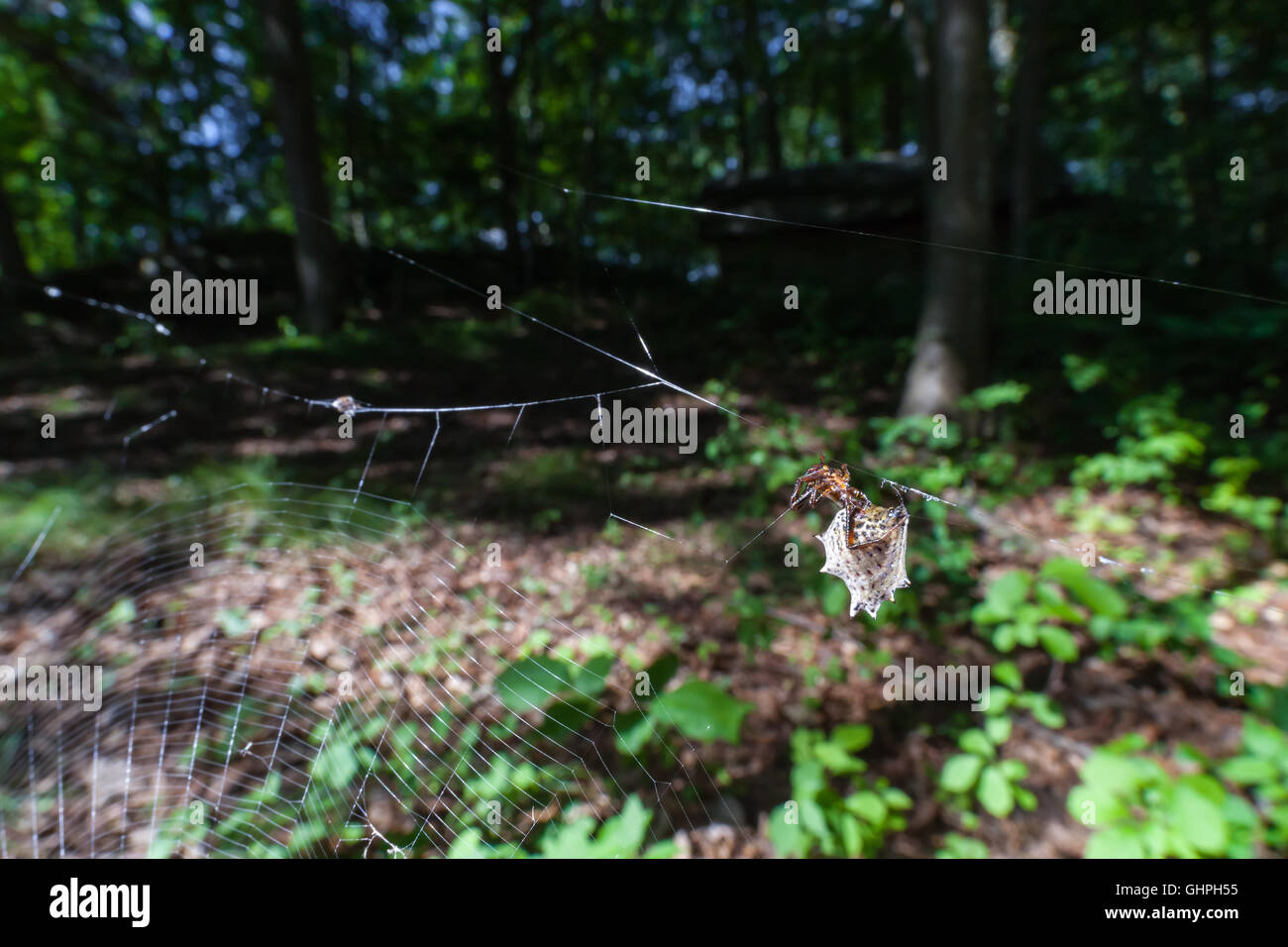 A female Spined Micrathena (Micrathena gracilis) waits for prey on her web at the edge of a forest. - Stock Image