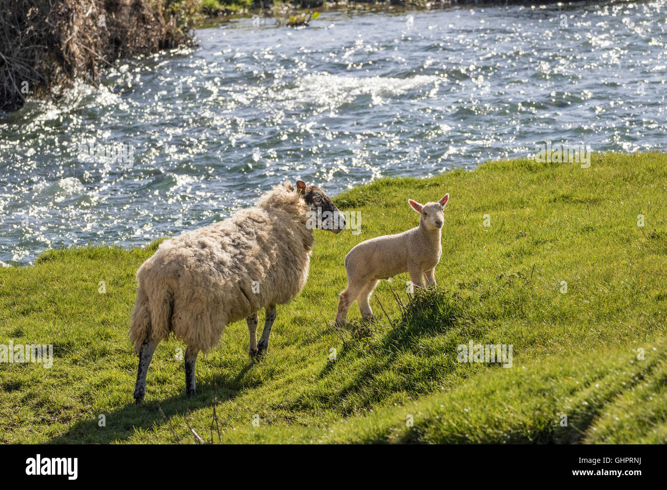 Ewe and lamb on the bank of a fast flowing river - Stock Image