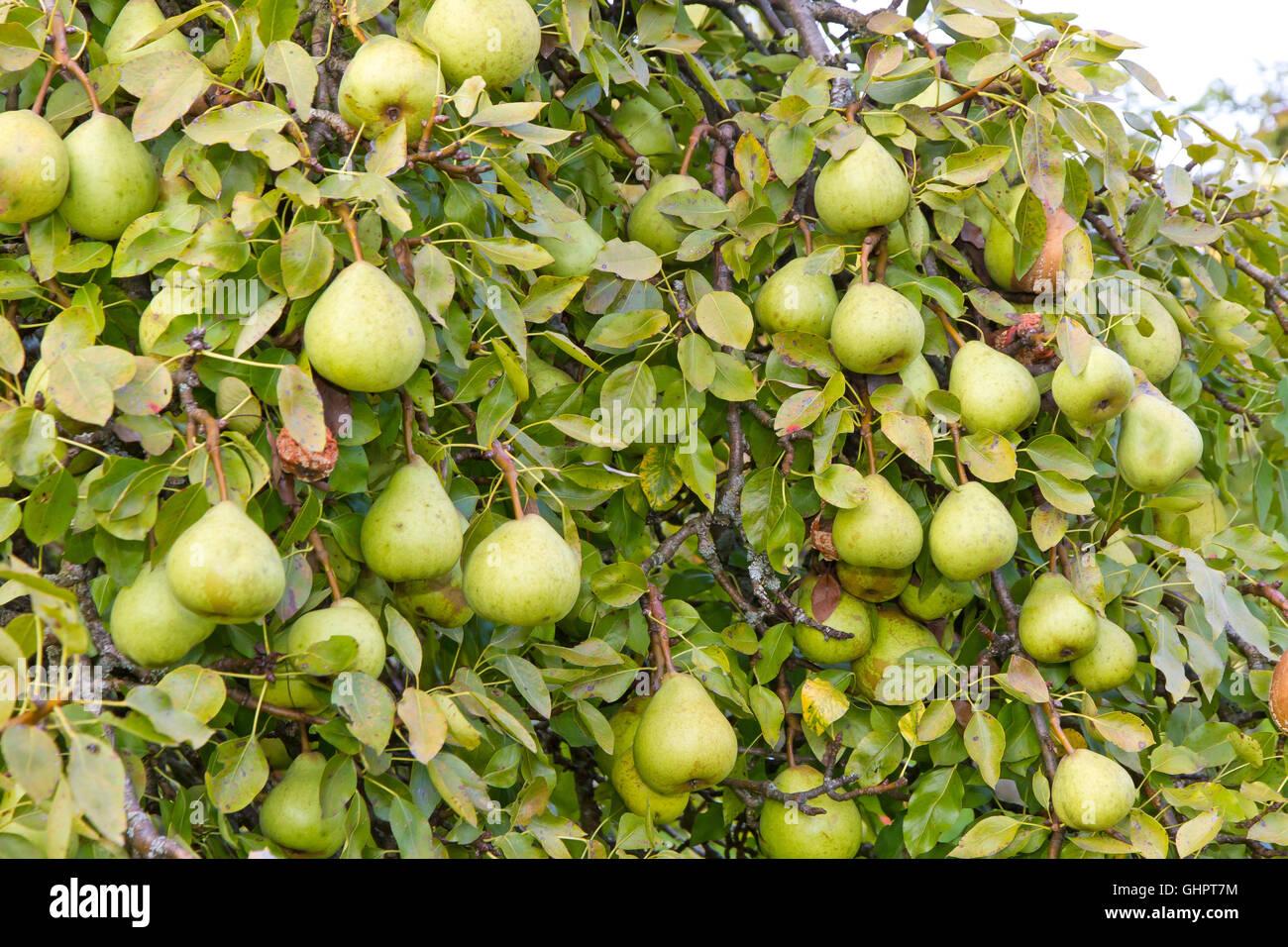 Fresh, organic pears on a tree - Stock Image