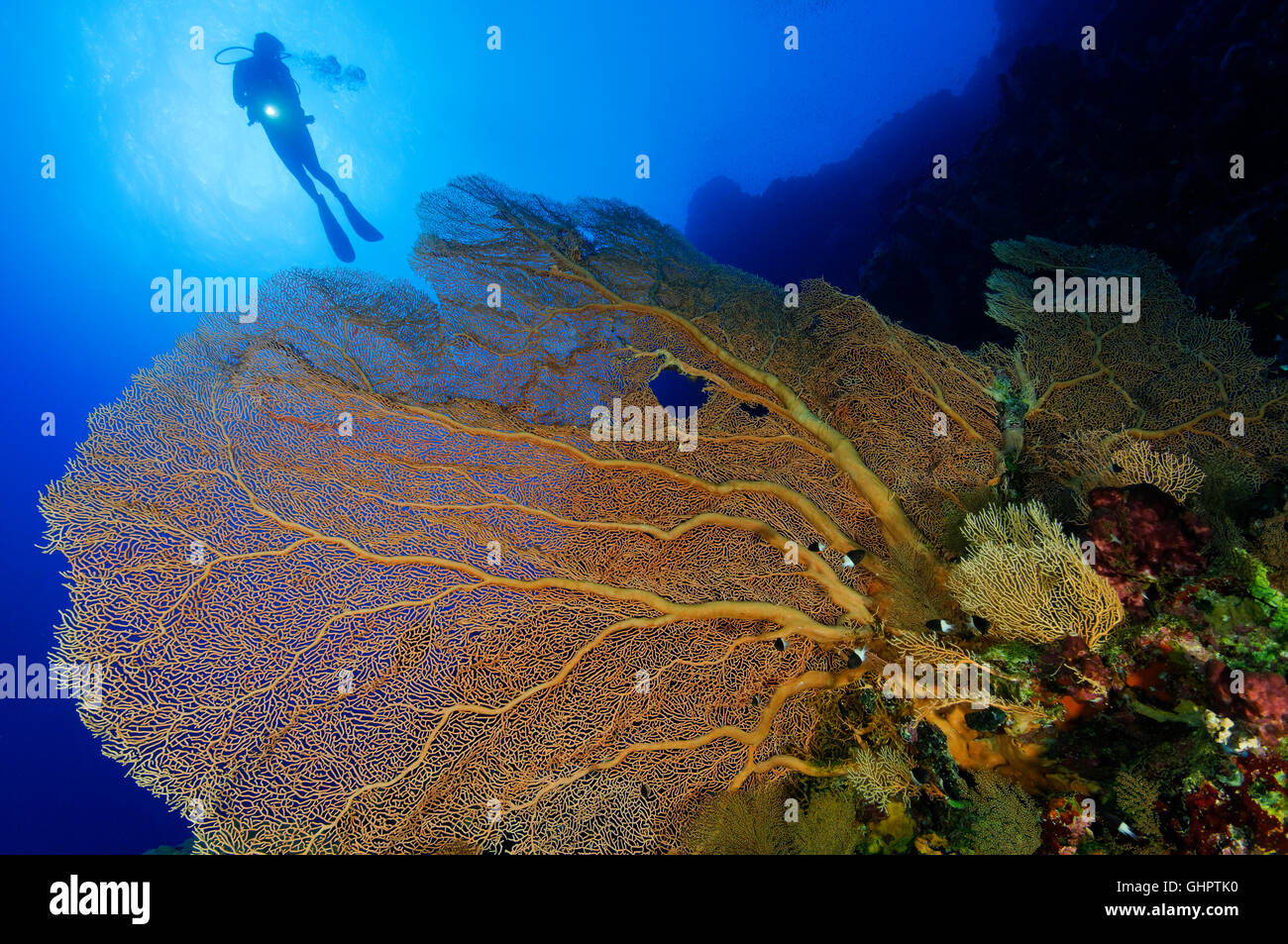 Coral reef with Giant Gorgonian or Sea fan and scuba diver, Little Brother, Brother Islands, Brothers, Red Sea, Stock Photo