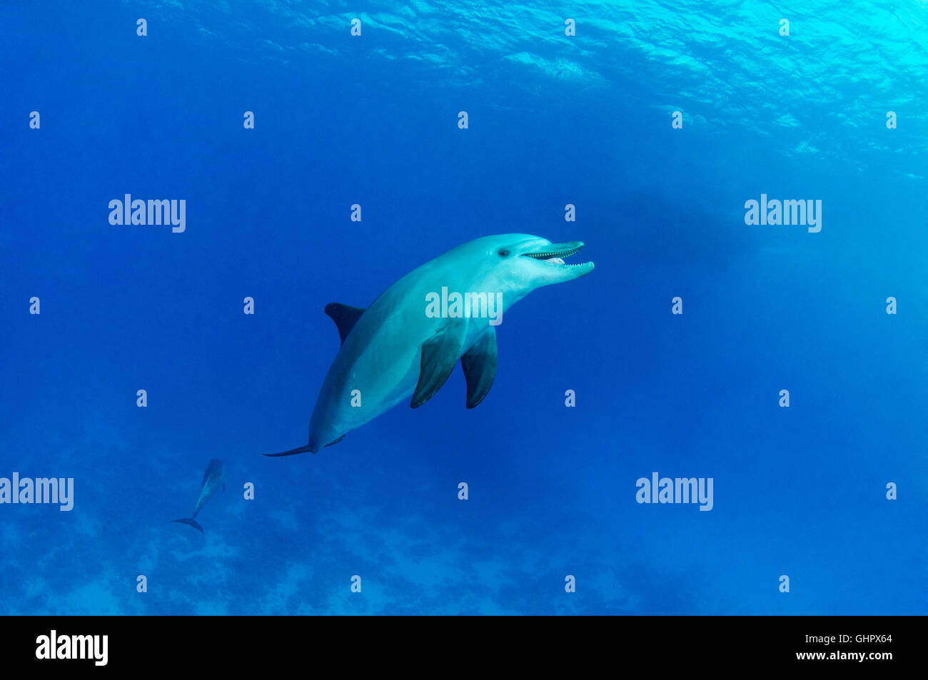 Tursiops aduncus, Indian Ocean bottlenose dolphin, Abu Nuhas, Yellow Fish Reef, Red Sea, Egypt, Africa - Stock Image
