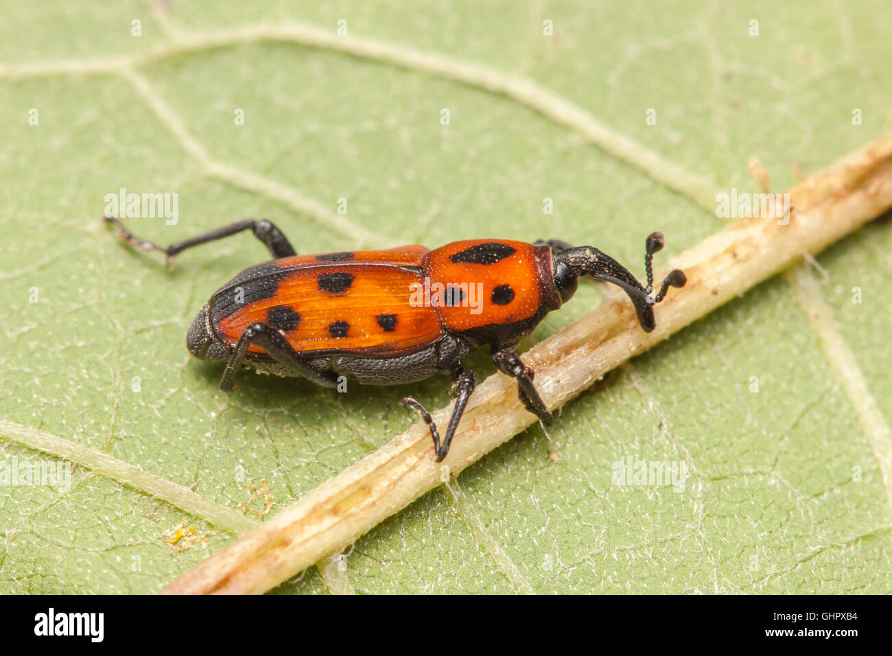 A Cocklebur Weevil (Rhodobaenus quinquepunctatus) on a leaf. - Stock Image