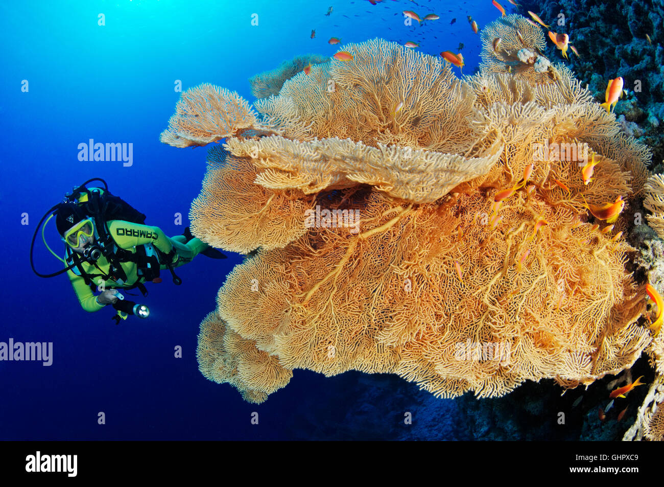 Coral reef with Giant Gorgonian or Sea fan and scuba diver, Hurghada, Giftun Island Reef, Red Sea, Egypt Stock Photo