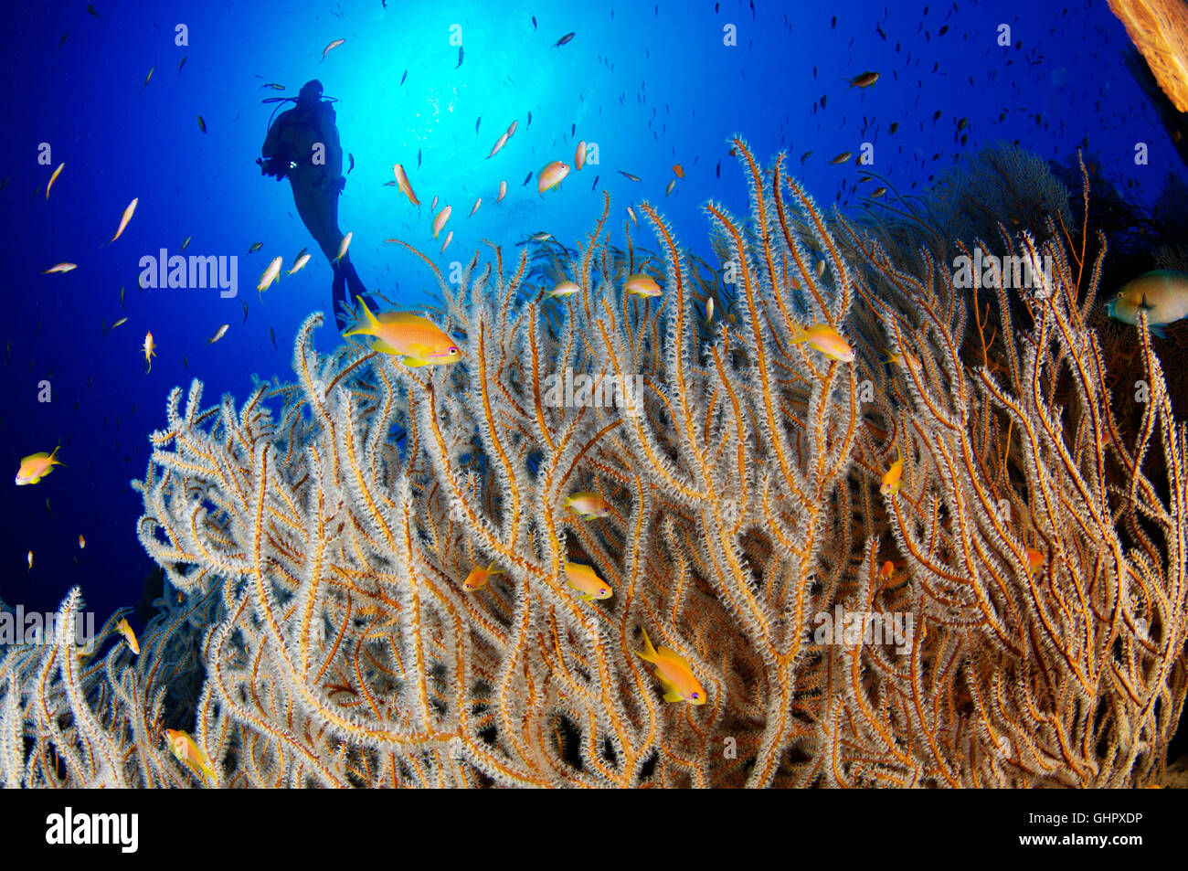 Subergorgia sp., Coral reef and Gorgonian and scuba diver, Hurghada, Giftun Island Reef, Red Sea, Egypt, Africa Stock Photo