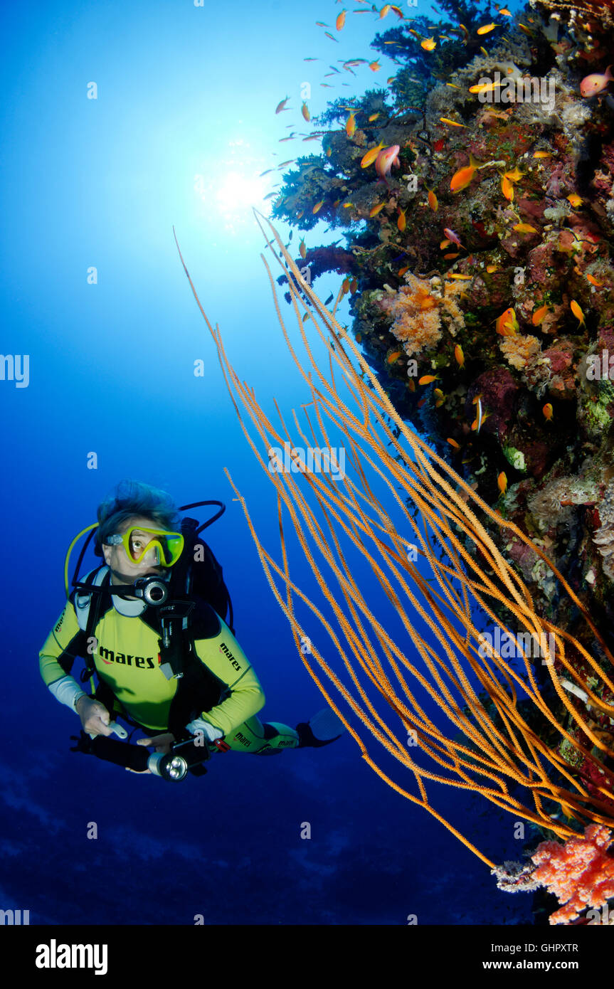 Ellisella sp., Coralreef with Yellow whip coral and scuba diver, Abu Fandera, Red Sea, Egypt, Africa Stock Photo