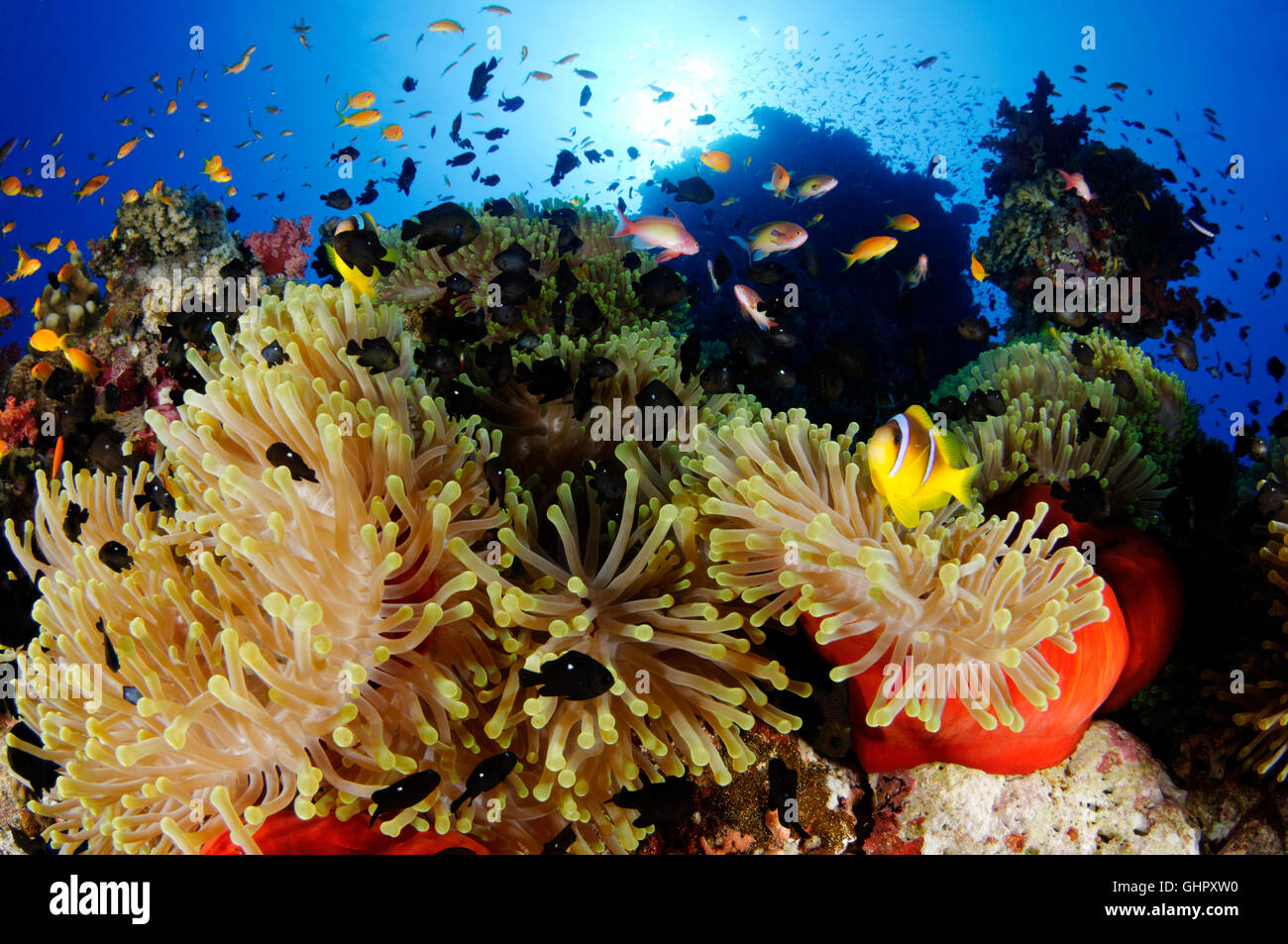 Coral reef with magnificent sea anemone, Red Sea anemonefish, Abu Fandera, Red Sea, Egypt Stock Photo