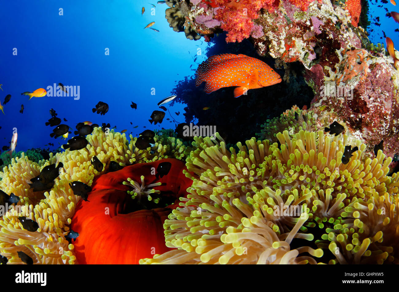 Coral reef with magnificent sea anemone and Three Spot Domino Damsel, Abu Fandera, Red Sea, Egypt Stock Photo
