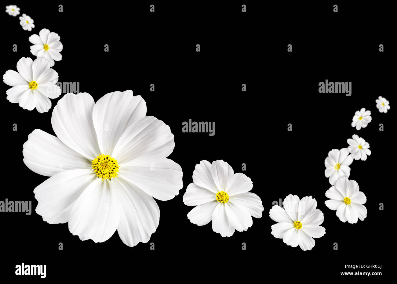 White Cosmos Flowers Floating Against A Black Background Stock Photo