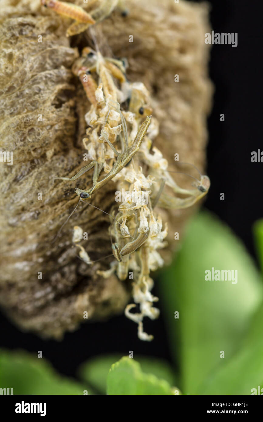 Close Up Of Praying Mantis Nymphs Hatching From Egg Case Stock