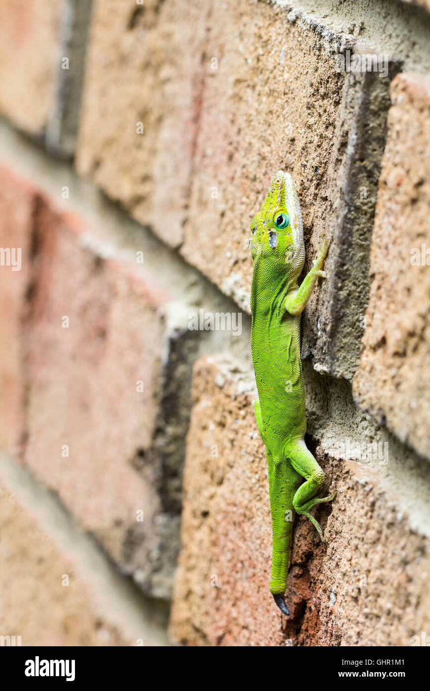 Green male anole,  with battle scars from defending his territory. Lizard with tail missing. Stock Photo
