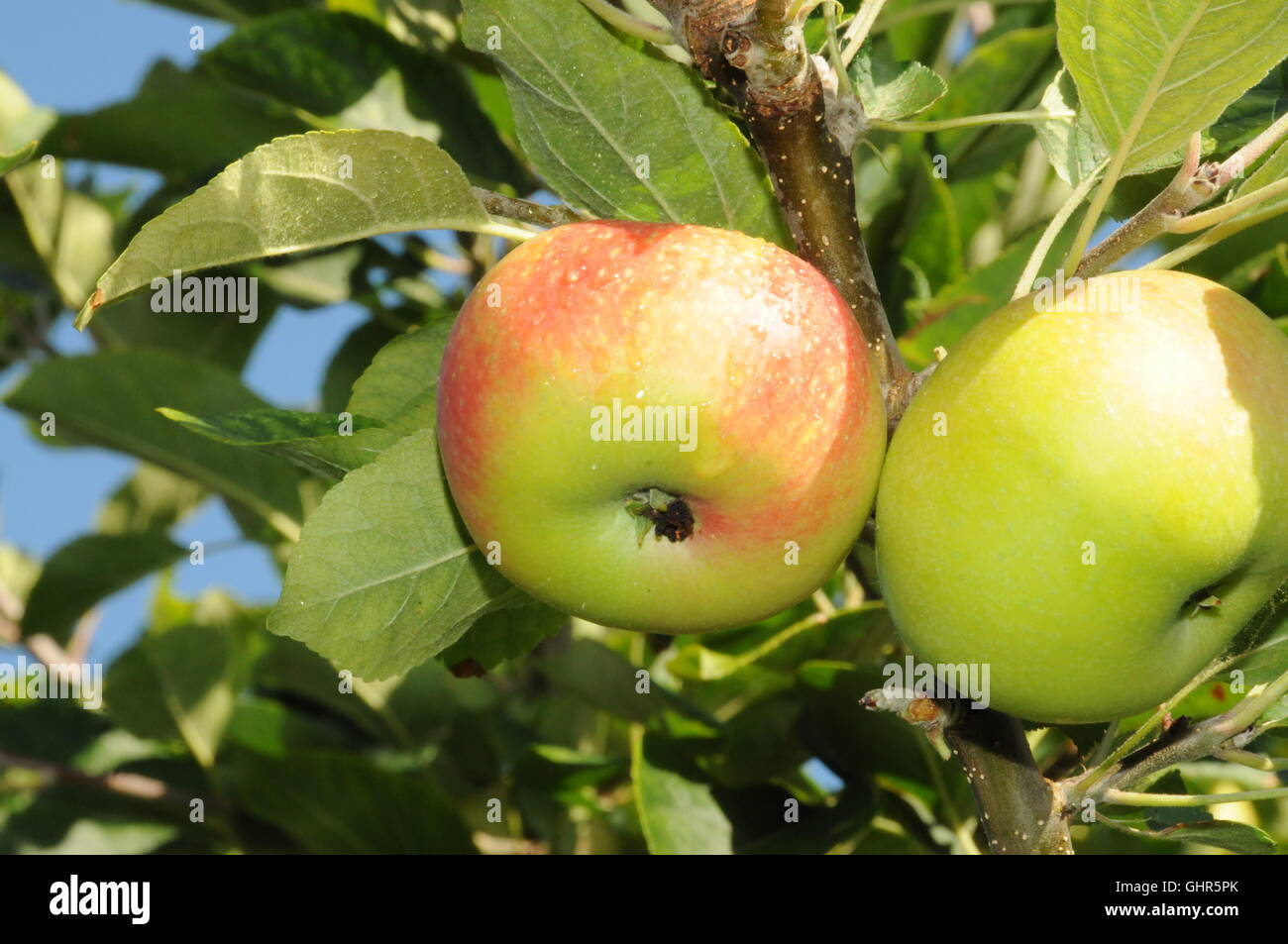 Organic English apples on tree. - Stock Image