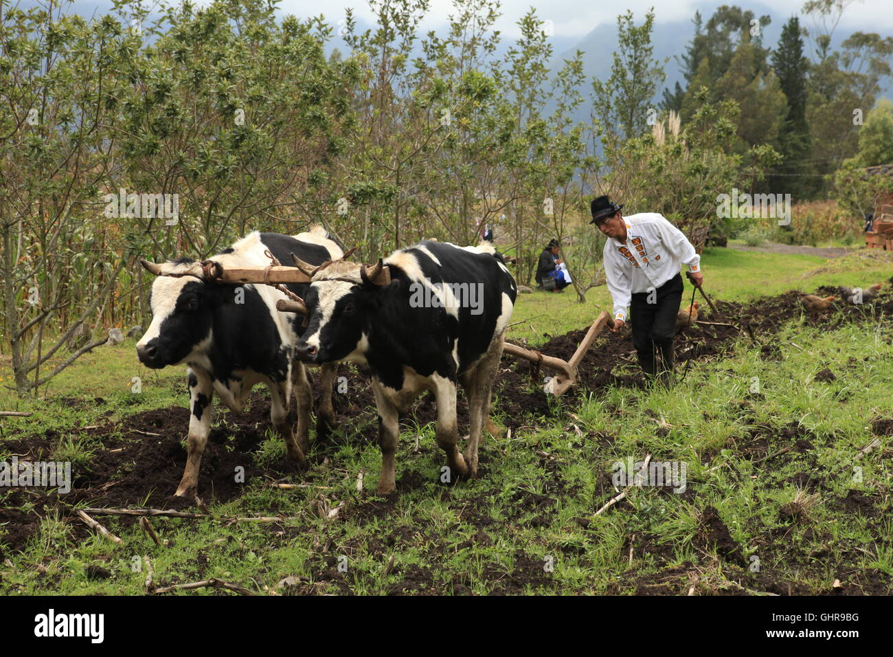 A locally dressed man from San Clemente, Ecuador, ploughs his field the traditional way with two cows Stock Photo