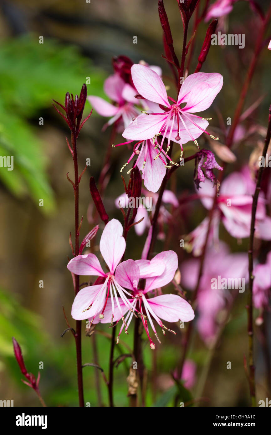 Close up of the flowers of the compact perennial, Gaura lindheimeri 'Lillipop Pink' - Stock Image