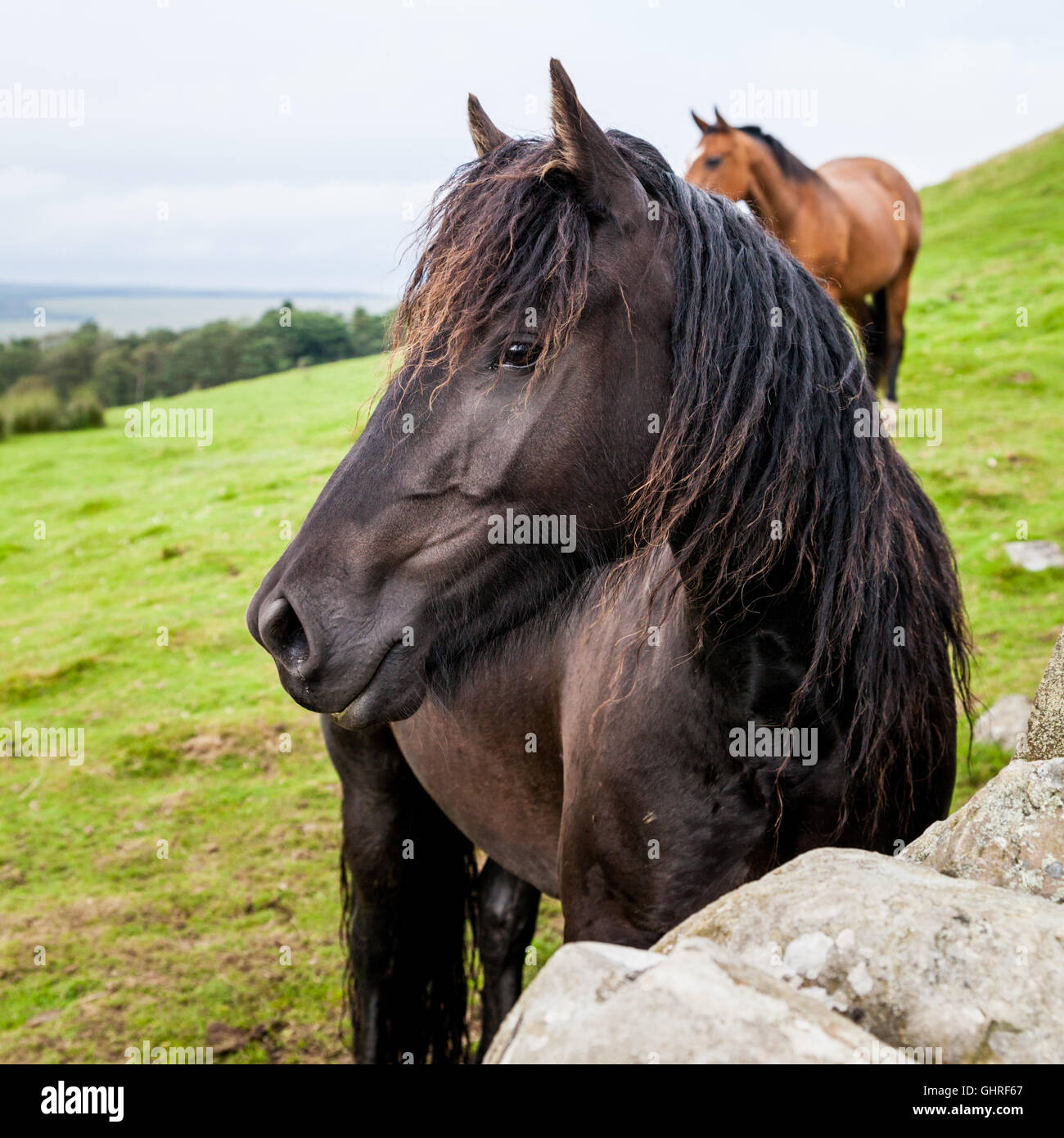 Beautiful black horse in a field in Northumberland, square crop - Stock Image