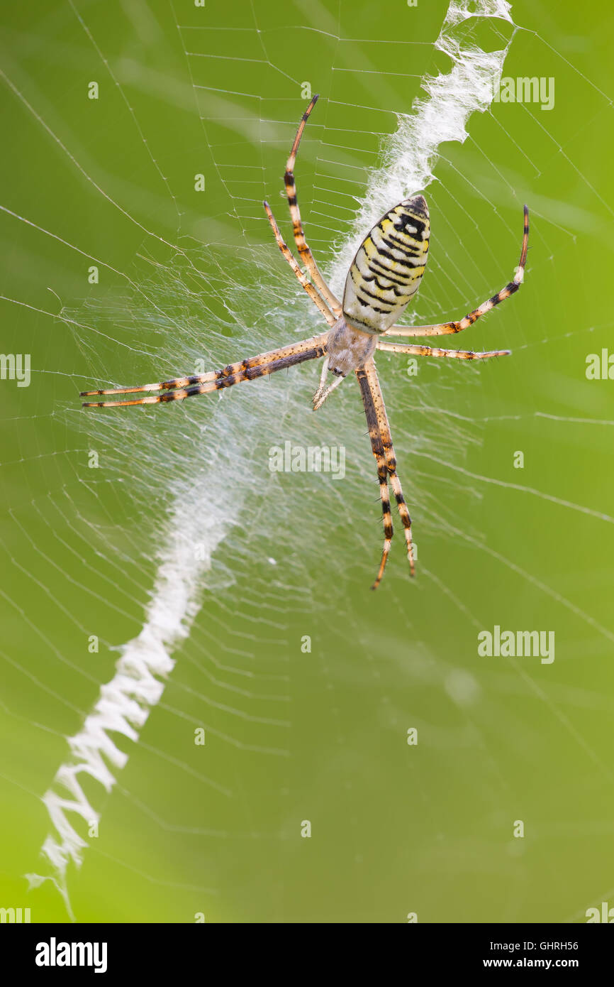 macro photography of wasp spider (Argiope bruennichi) - Stock Image