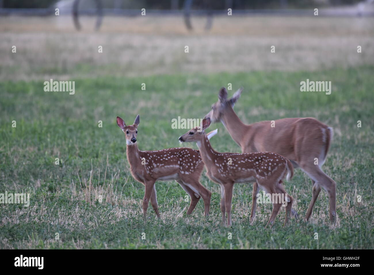 Doe With Twins near the Little Pend Oreille nature preserve north of Spokane, WA - Stock Image