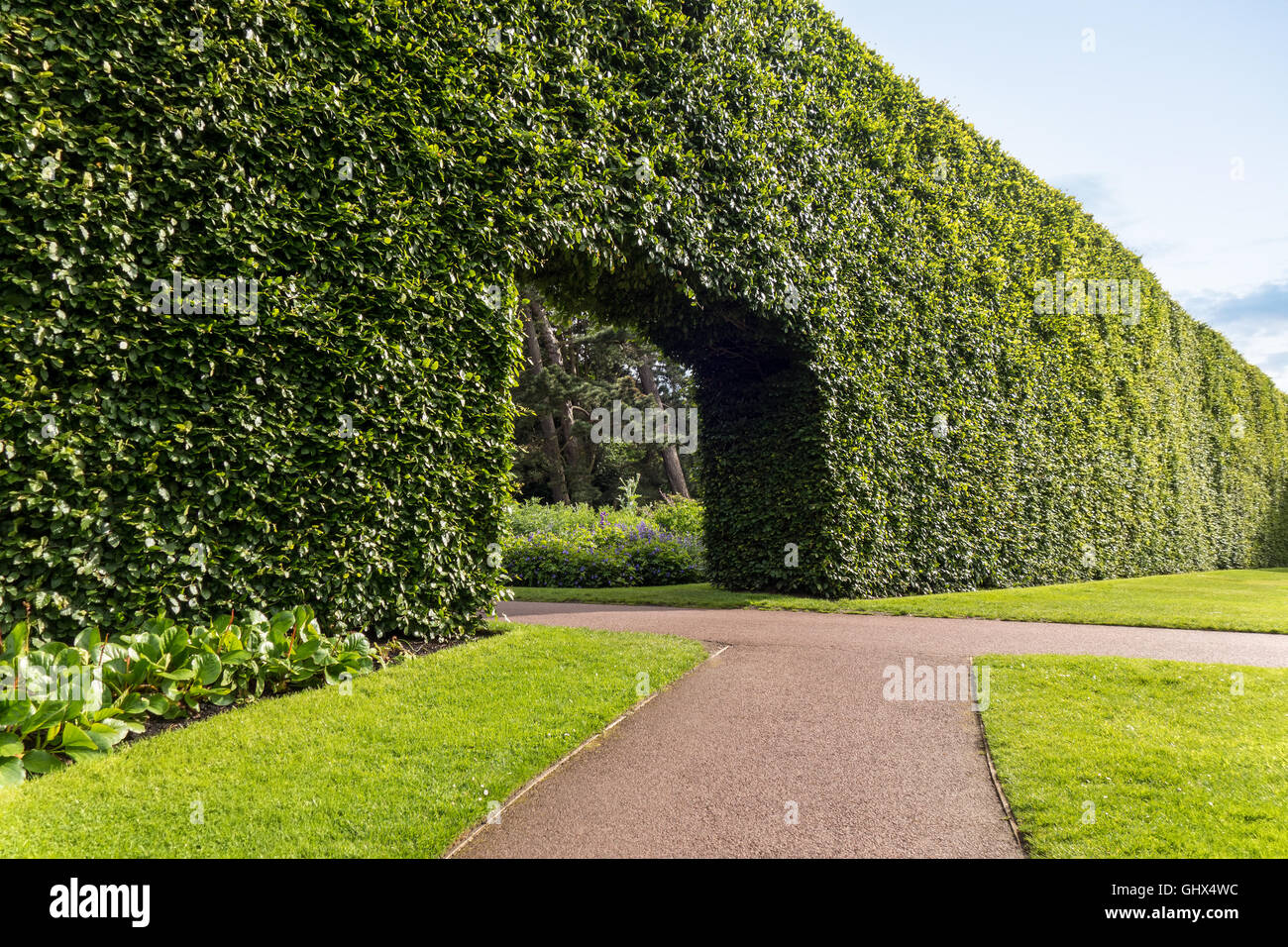 Edinburgh Royal Botanic Garden RBGE. Famous century-old Beech Hedge 8 meters; 23ft high. - Stock Image