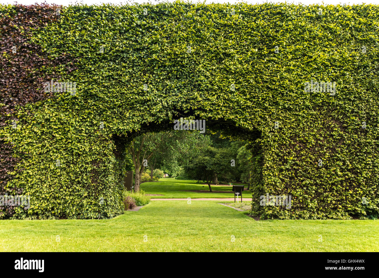 Royal Botanic Garden Edinburgh RBGE. Famous century-old Beech Hedge 8 meters; 23ft high. - Stock Image