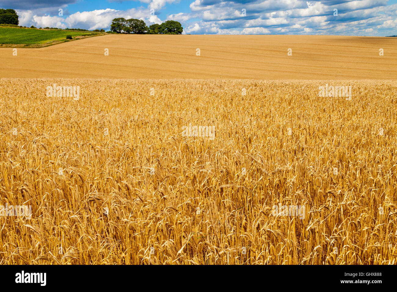 Field Of Wheat, Glynde, East Sussex, UK - Stock Image