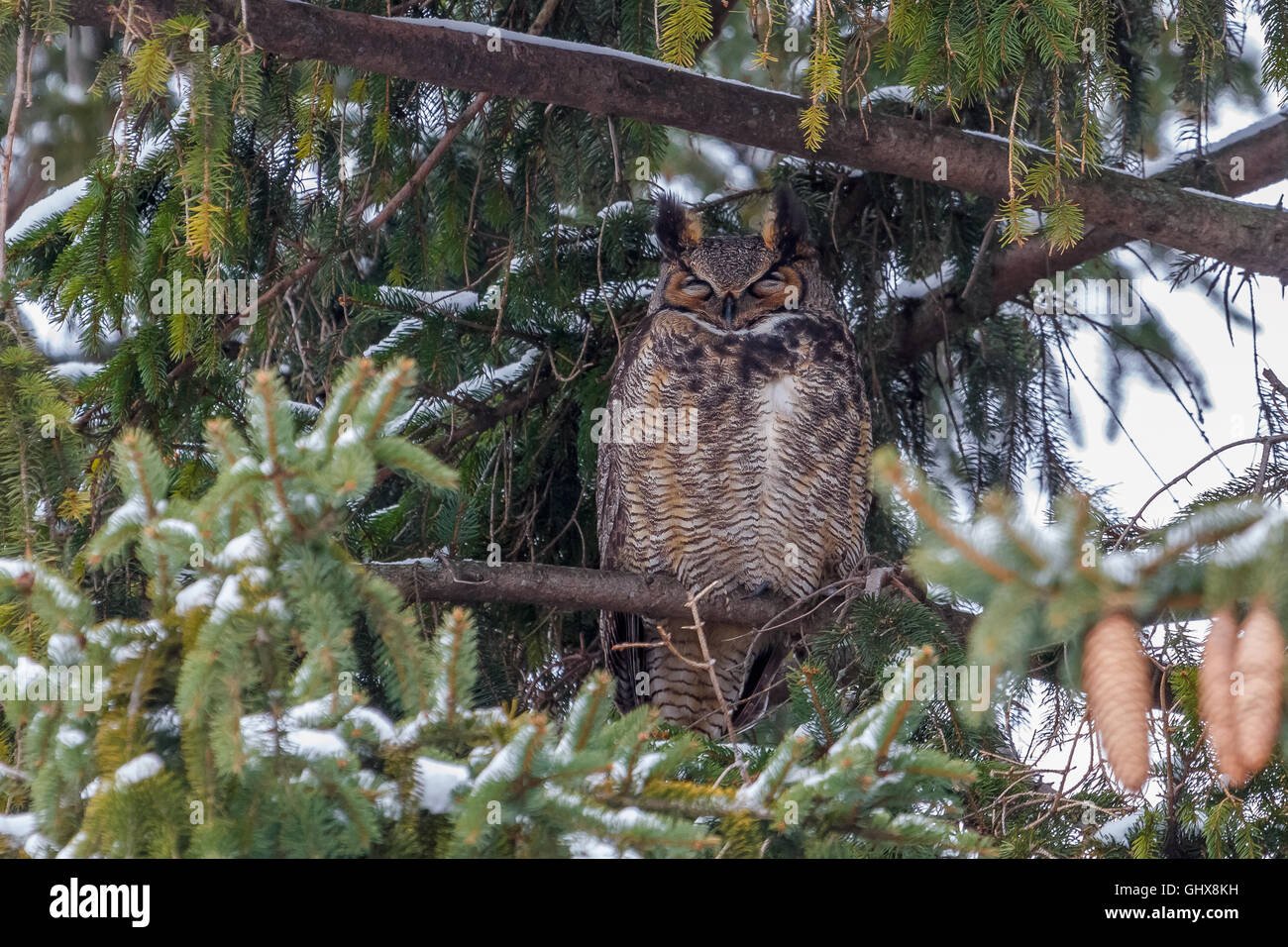 Great Horned Owl Perched in a spruce tree. Stock Photo
