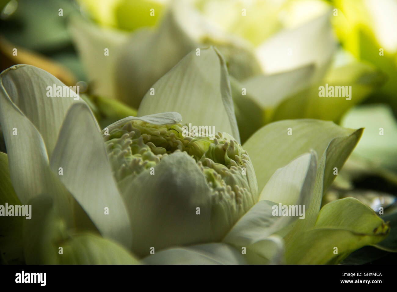 Lotus blossoms at a flower market in Chiang Mai, Thailand - Stock Image