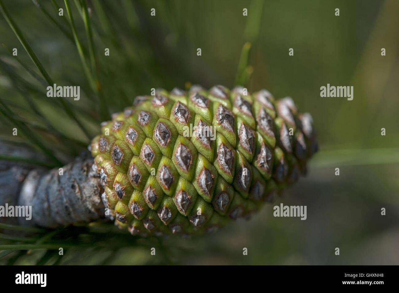 Pine cones of Creeping pine or dwarf mountainpine Pinus mugo, Pinaceae, Matera, Basilicata - Stock Image