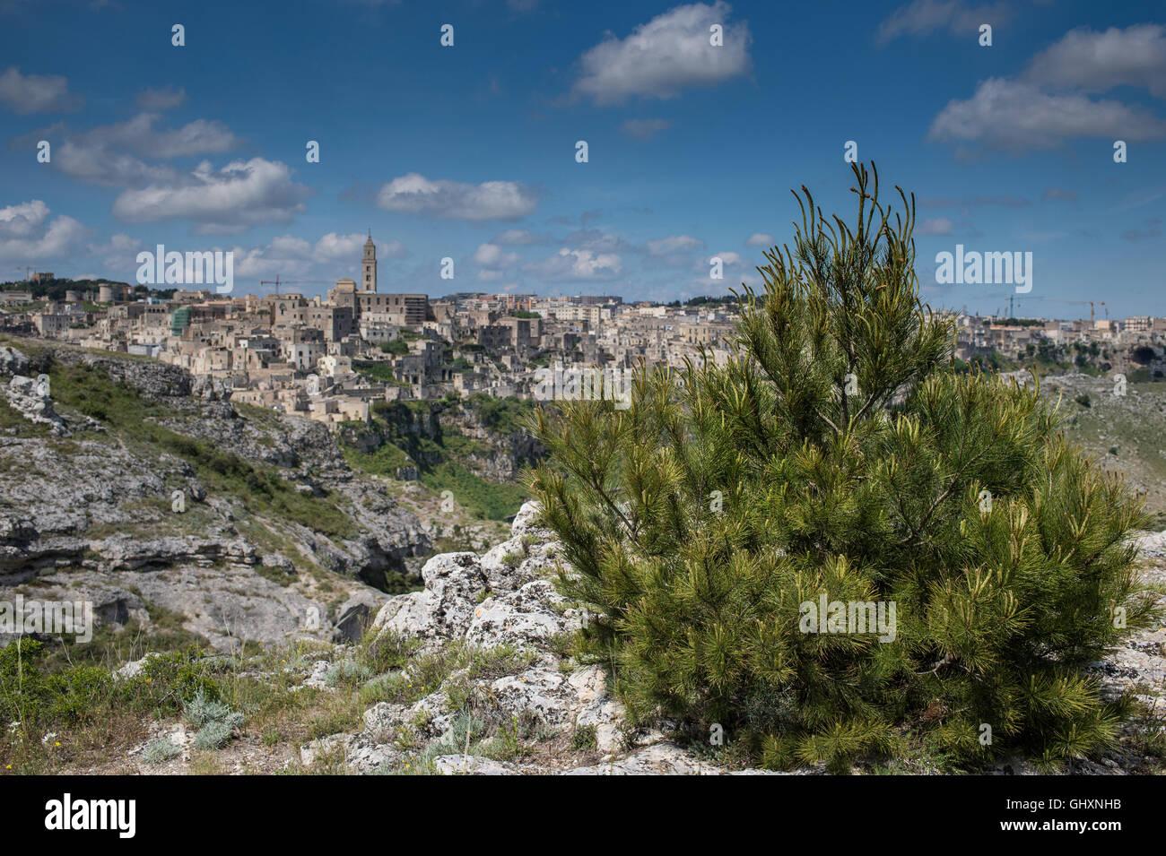 Creeping pine or dwarf mountainpine Pinus mugo, Pinaceae, Matera, Basilicata, Italy - Stock Image