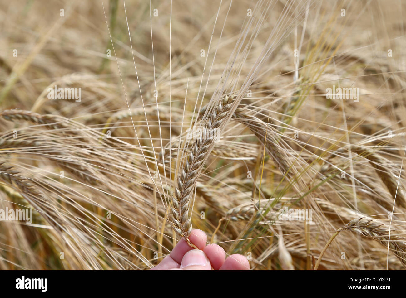 hand of the farmer holds mature yellow ear of wheat - Stock Image