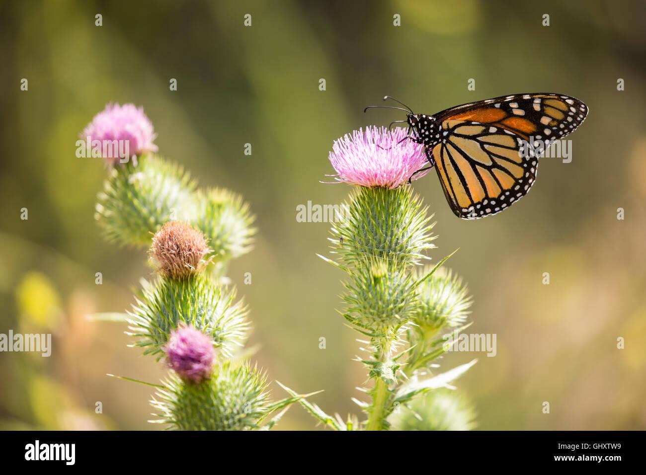 Monarch butterfly - Danaus plexippus - Stock Image