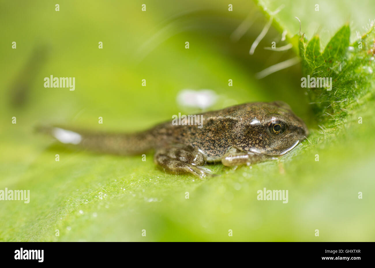A Common Frog (Rana temporaria) tadpole makes it's first venture above the surface of the pond. - Stock Image