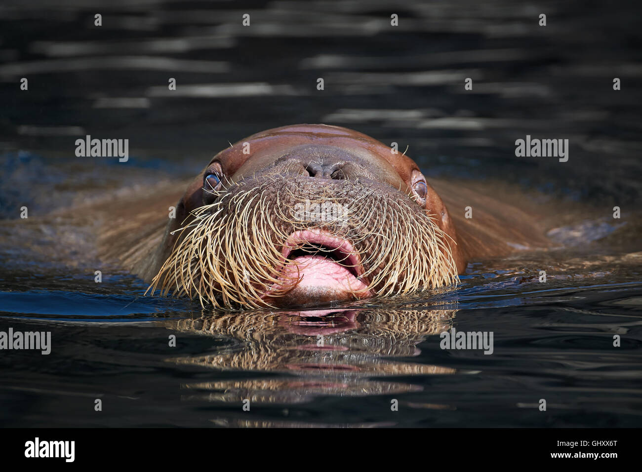 Pacific Walrus seen from the front swimming with its head over the water - Stock Image