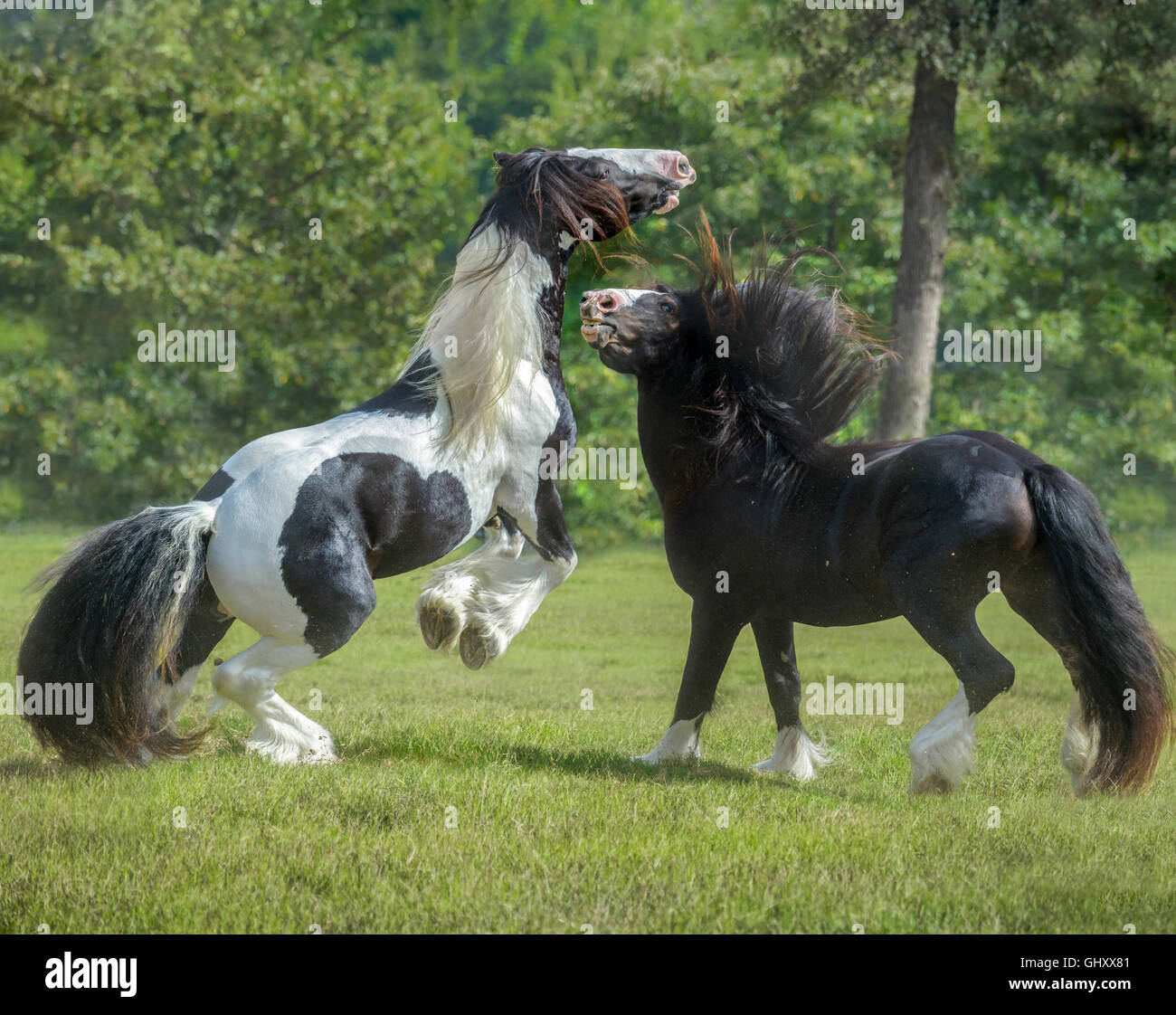 4 year old Gypsy Vanner Horse stallions roughouse and play - Stock Image