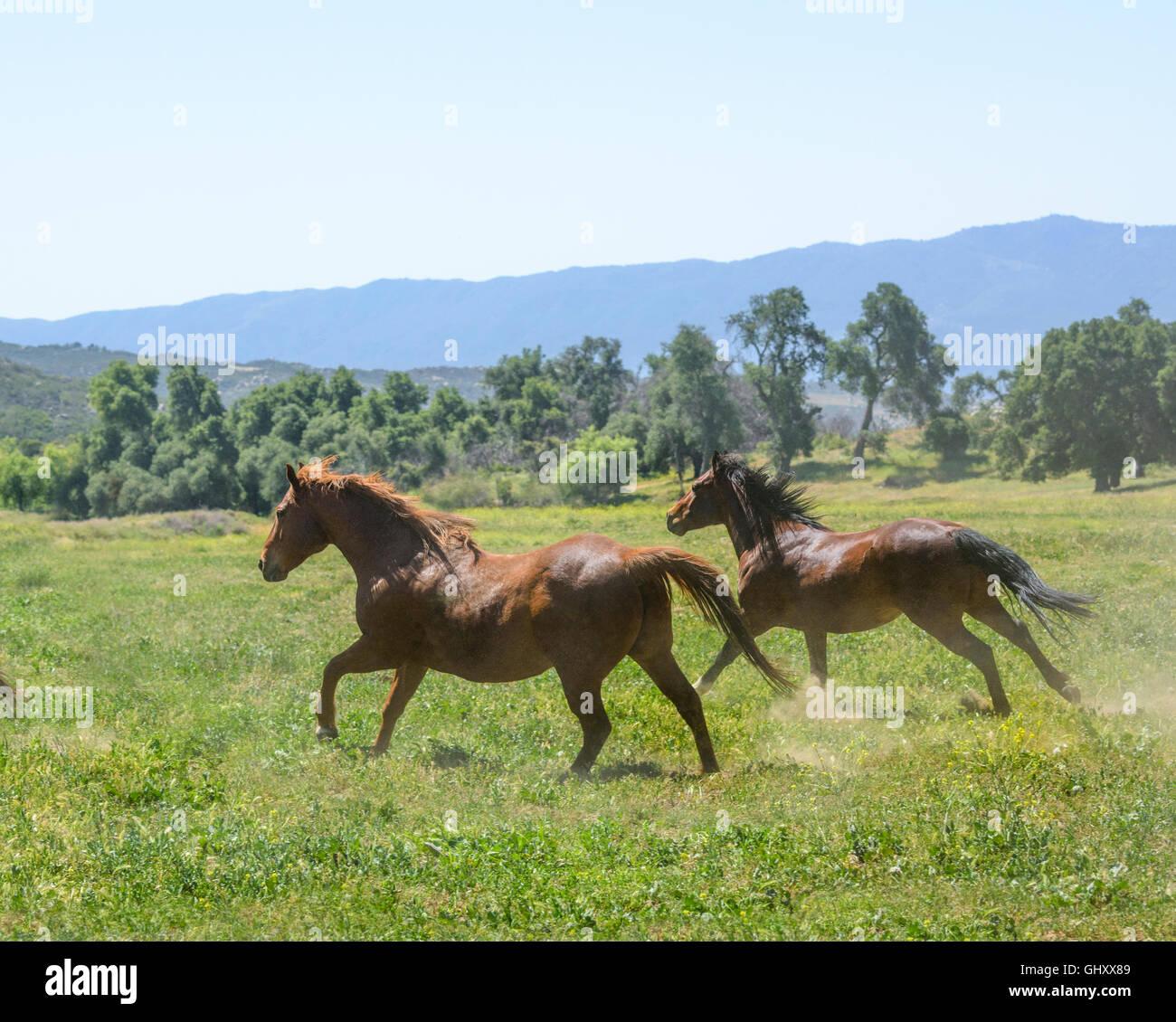 Quarter Horse mares run in scenic mountain pasture - Stock Image