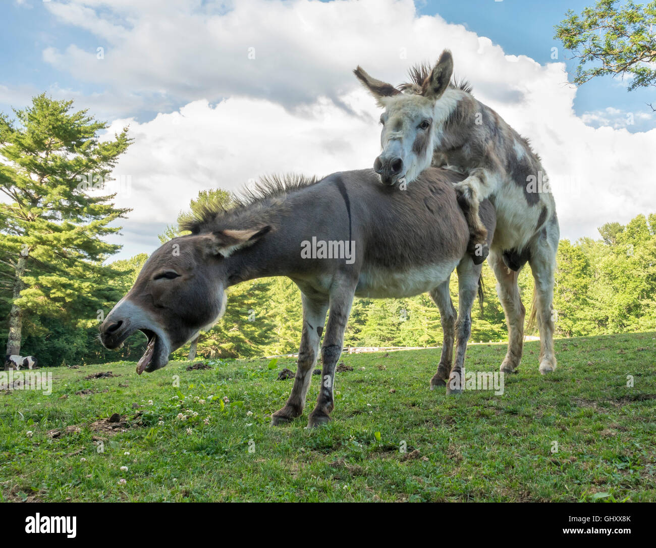 Pics of donkeys mating