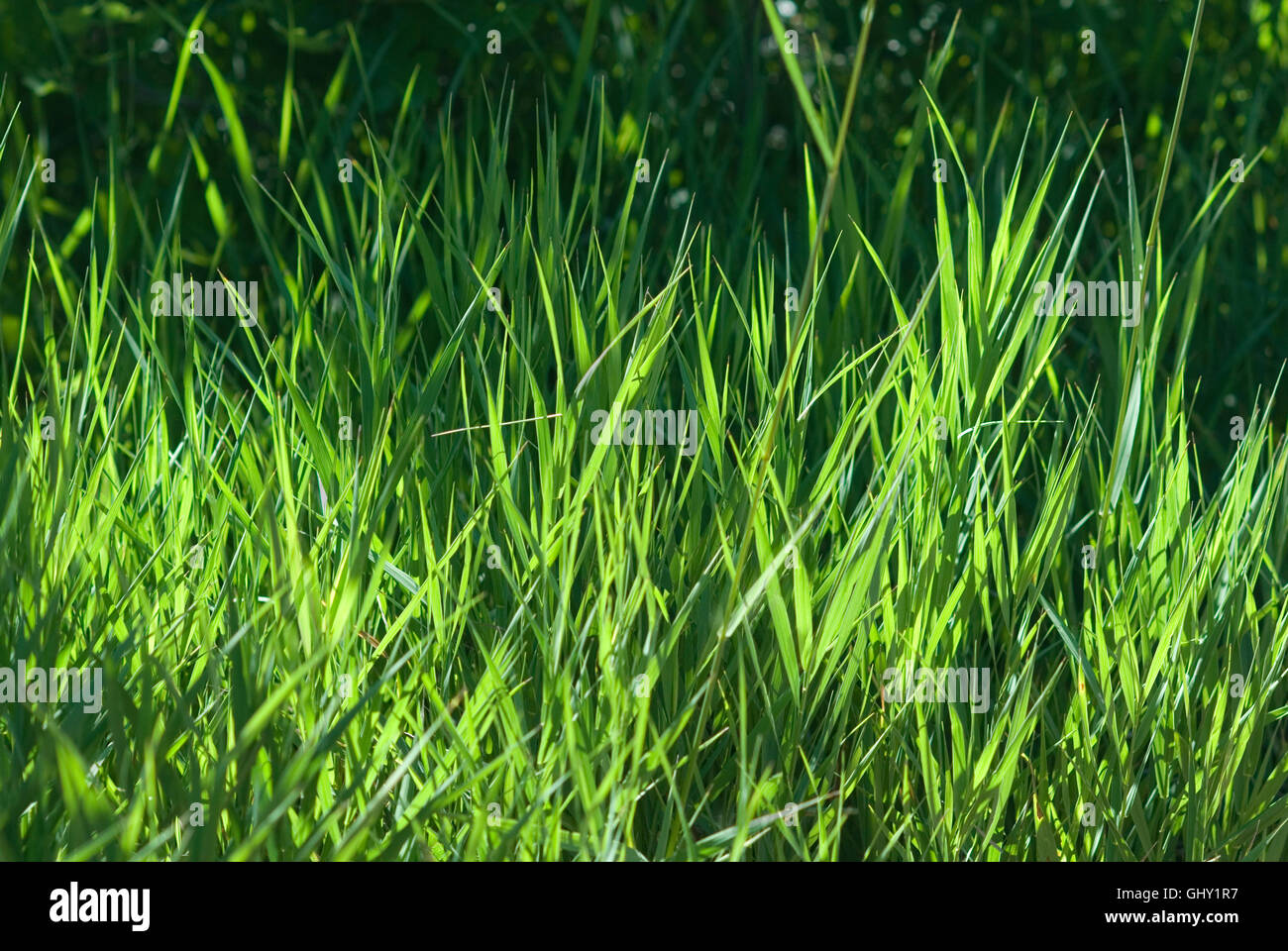Blades of grass - Stock Image