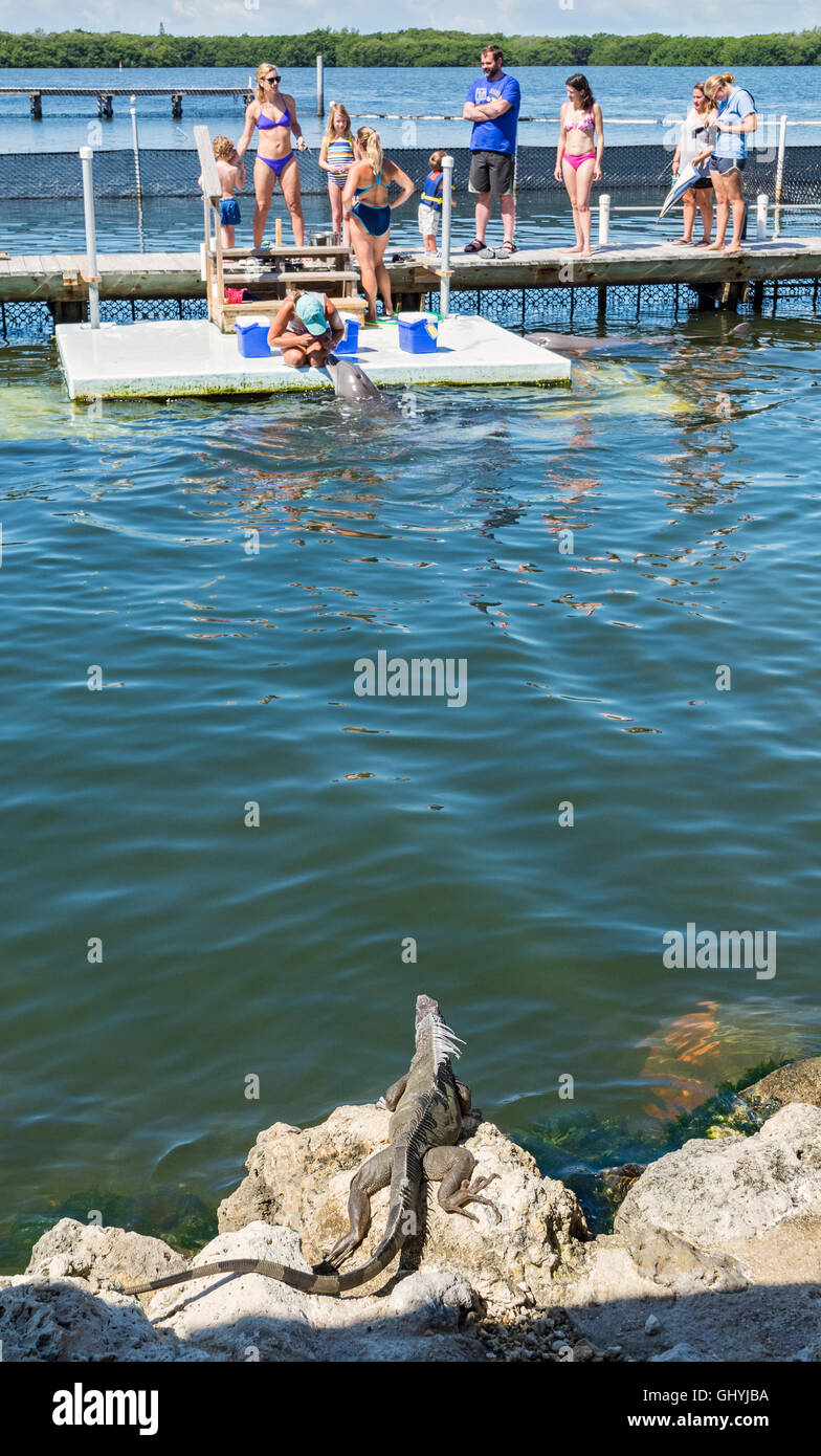Florida Keys, Grassy Key, Dolphin Research Center, Common Green Iguana watching visitors getting ready to swim with - Stock Image