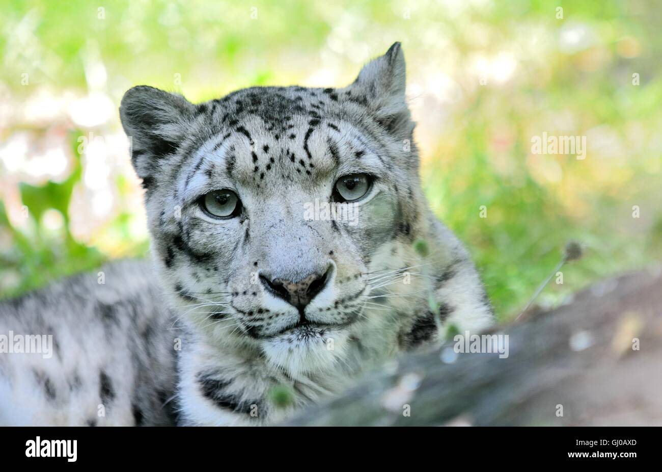 Closeup portrait of lying snow leopard (Uncia Uncia). He lives in mountain in central Asia. - Stock Image