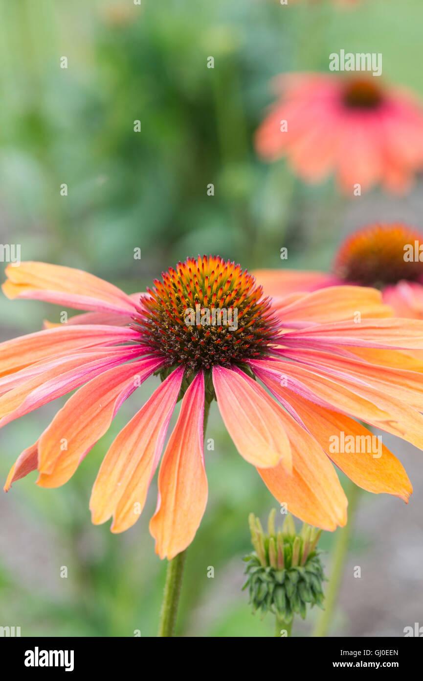 Echinacea purpurea  hot summer Coneflower - Stock Image
