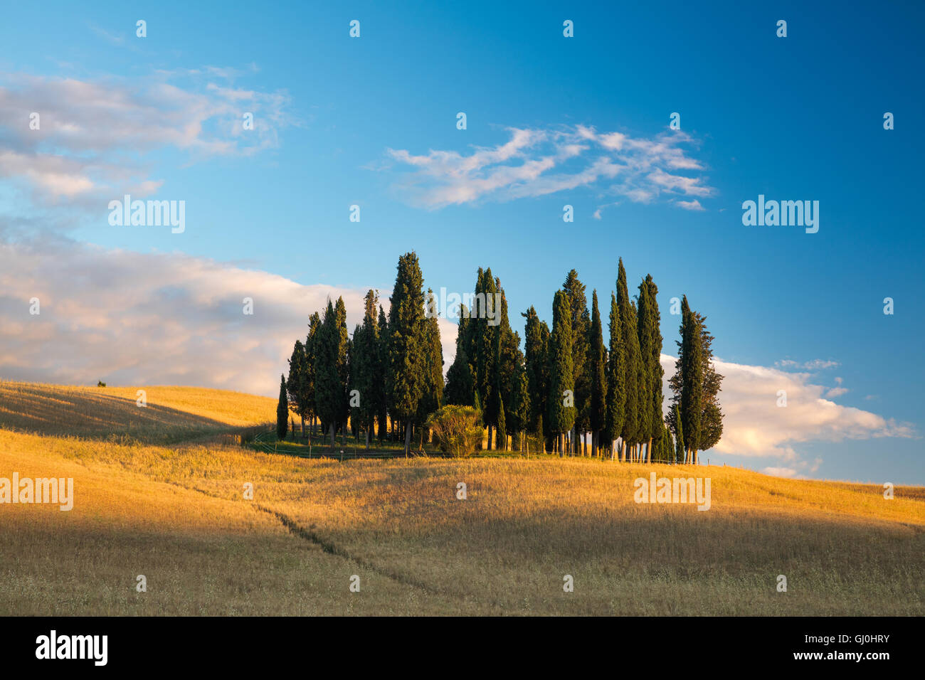 a copse of cyprus trees nr San Quirico d'Orcia, Tuscany - Stock Image