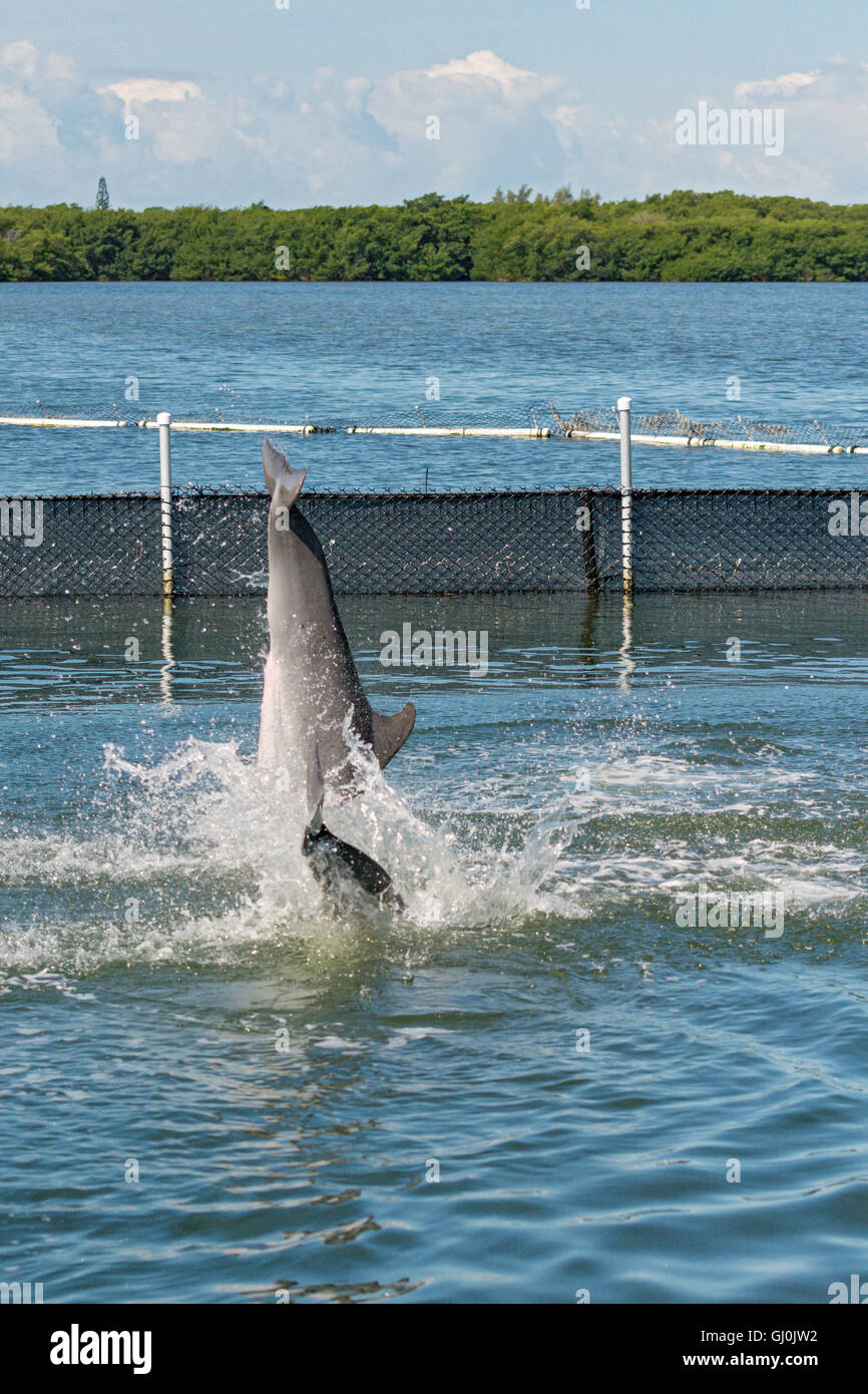 Florida Keys, Grassy Key, Dolphin Research Center, two dolphins jumping sequence 4 of 4 Stock Photo