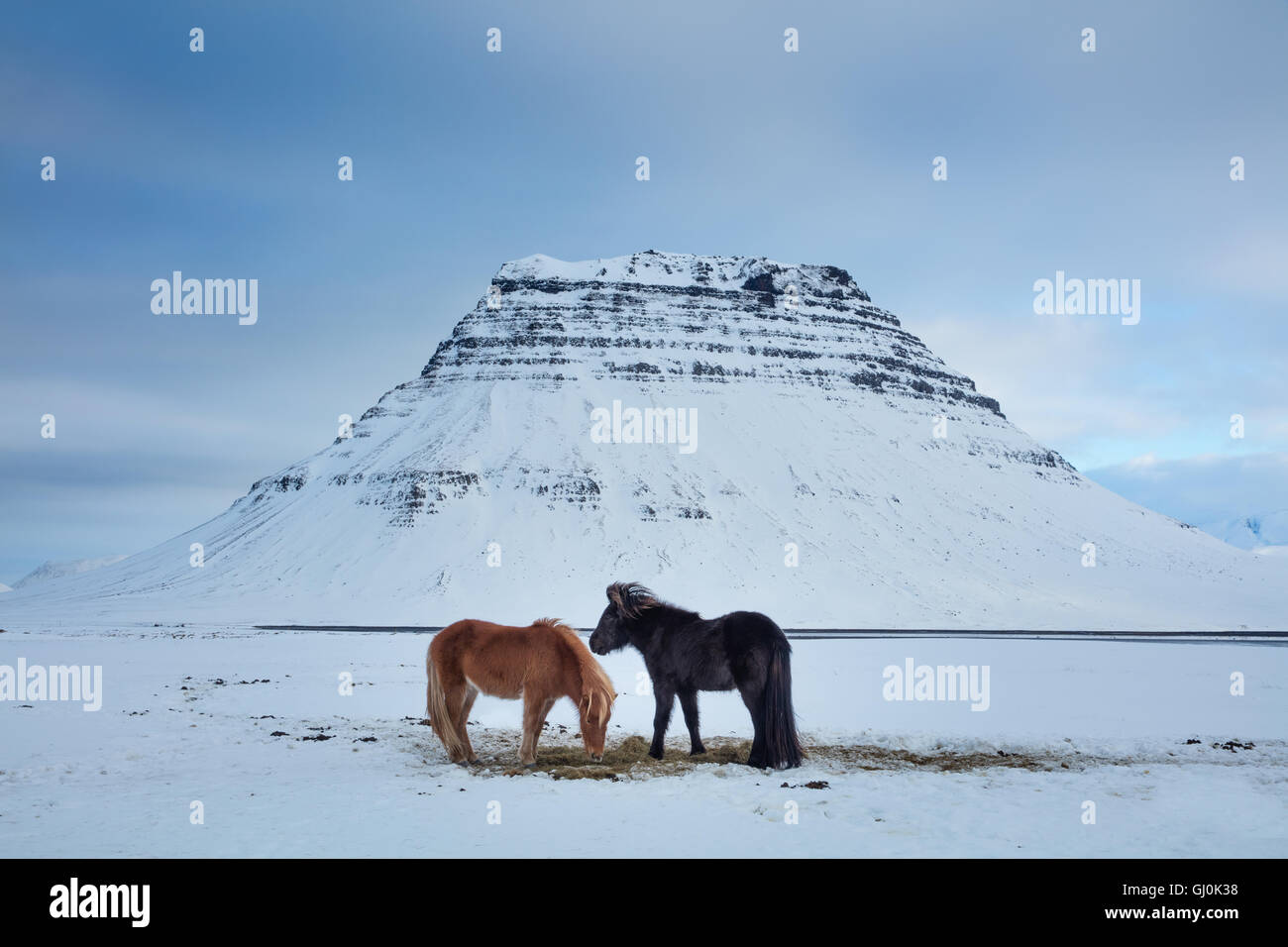horses grazing in the snow in front of Kirkjufell, Snaefellsness Peninsula, Iceland - Stock Image