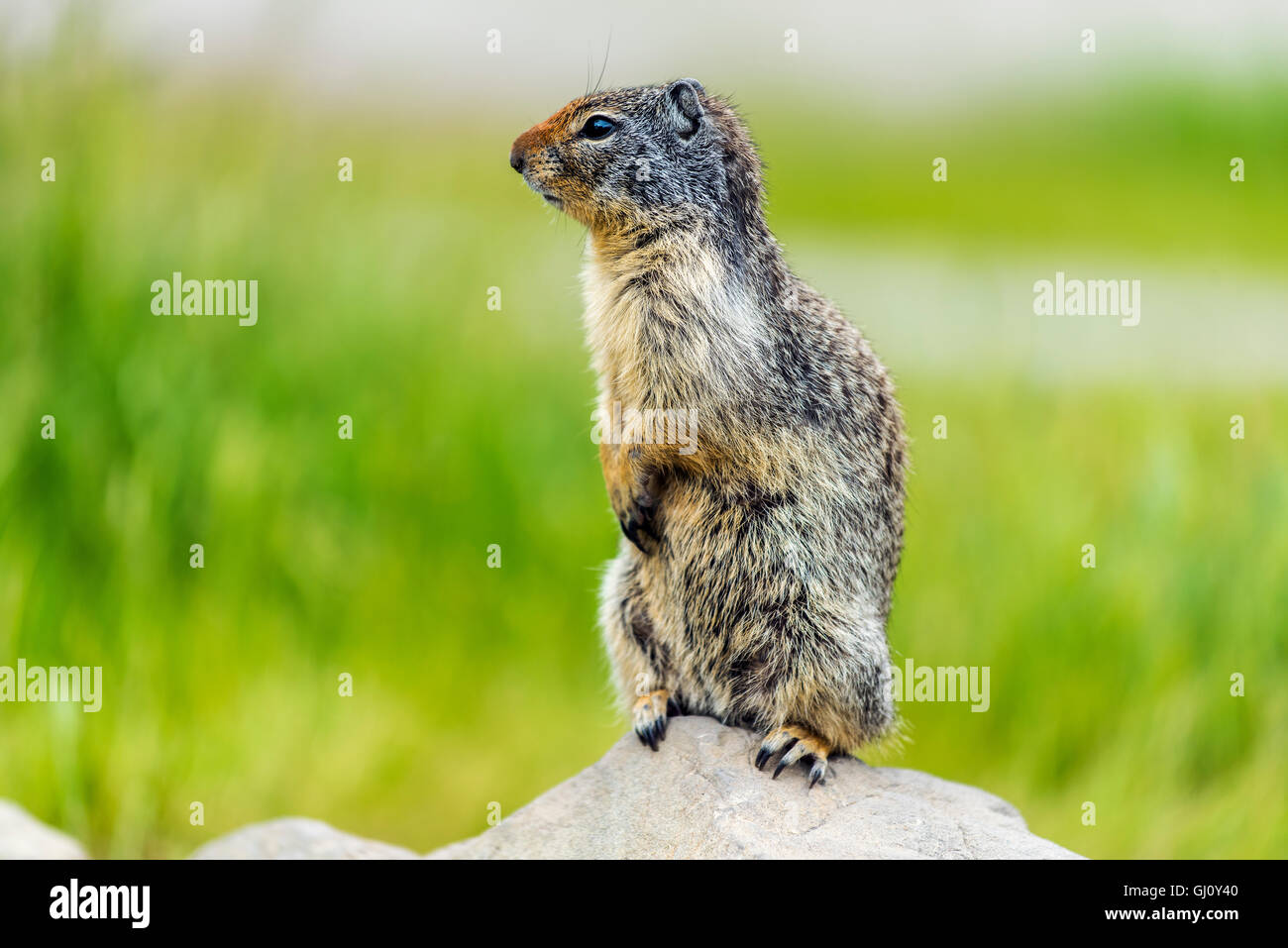 Columbian ground squirrel or Urocitellus columbianus, Banff, Alberta, Canada - Stock Image