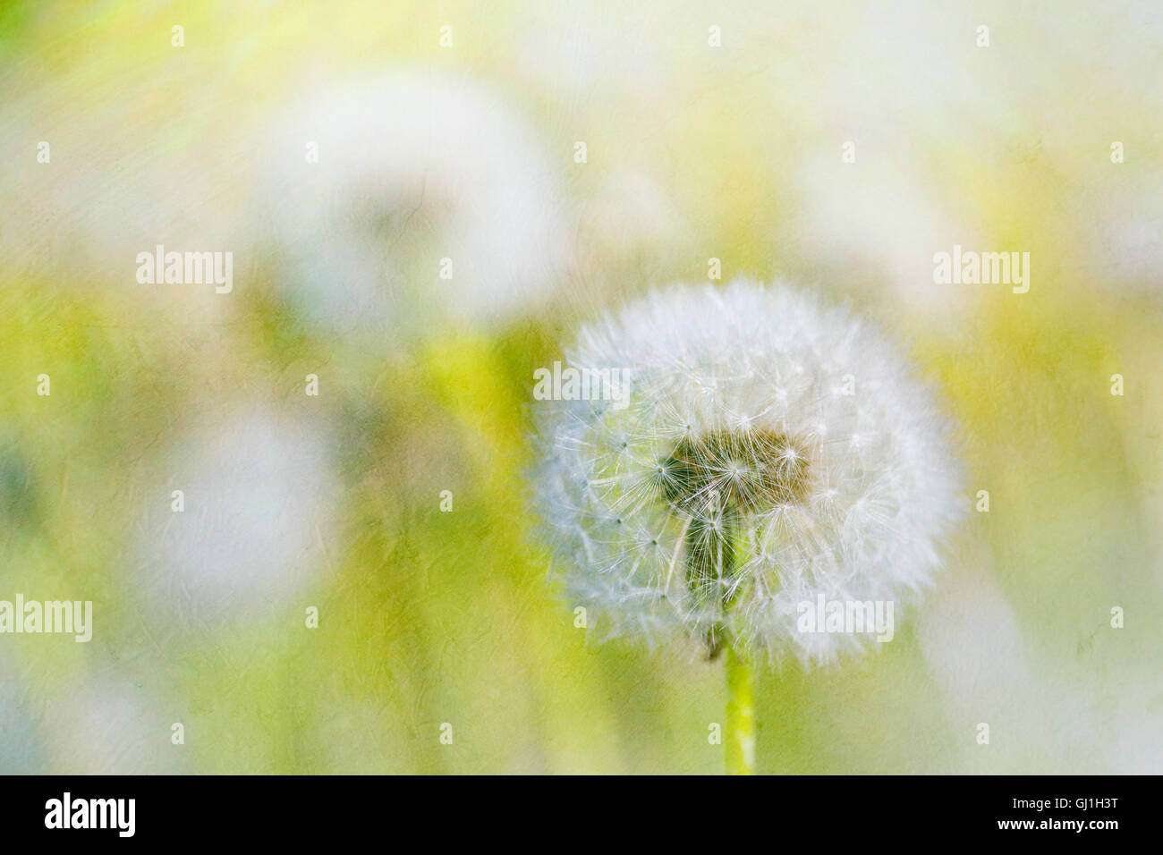 Dandelions with an applied painterly texture effect. - Stock Image