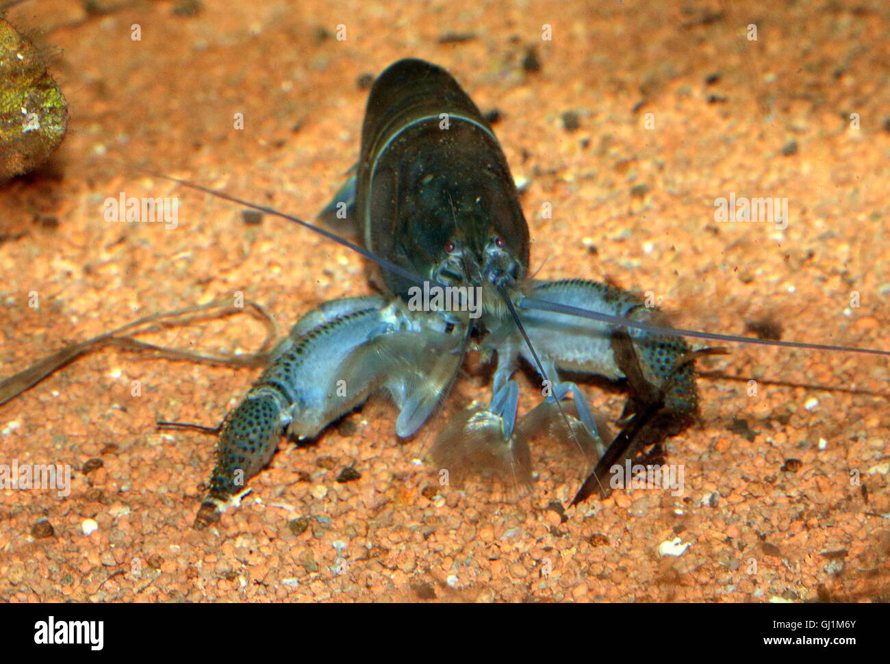 Giant Shrimps Stock Photos & Giant Shrimps Stock Images ...