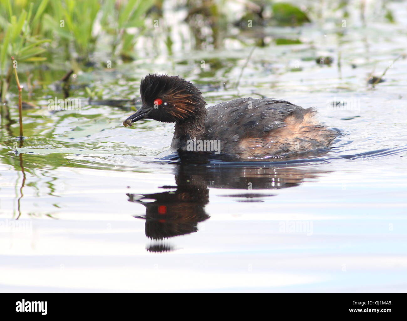 Mature European Black necked Grebe (Podiceps nigricollis)  with a small grub or water insect - Stock Image