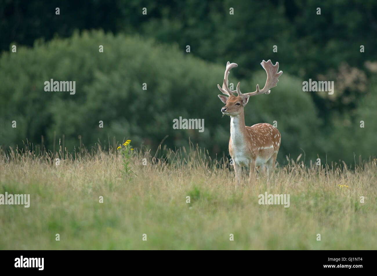 Fallow deer (buck)- Dama dama with antlers covered in velvet.. Uk - Stock Image