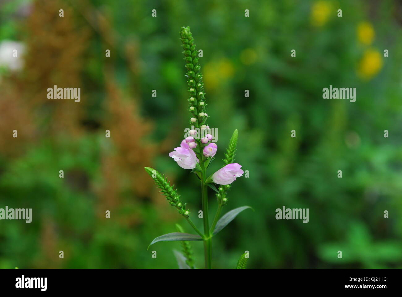 Obedient plant, false dragonhead, physostegia virginiana - Stock Image